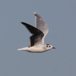 Little Gull